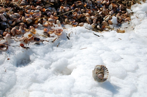 seashells in snow photo